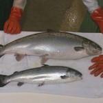 transgencio salmon