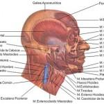 musculos craneo y cuello
