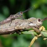 entomologua