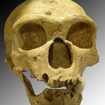 Homo_sapiens_neanderthalensis